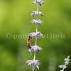 Honey Bee on Russian Sage 3