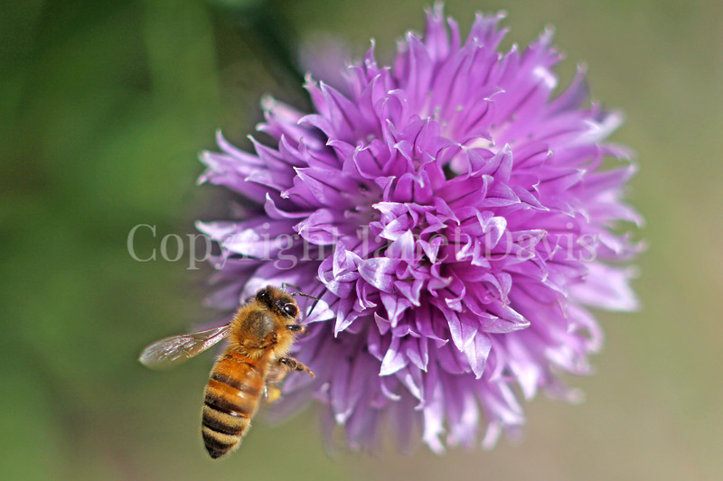 Honey Bee on Chives 2