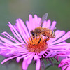 Honey Bee on Mauve New England Aster 1
