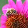 Honey Bee on Echinacea 'PowWow Wild Berry' 2