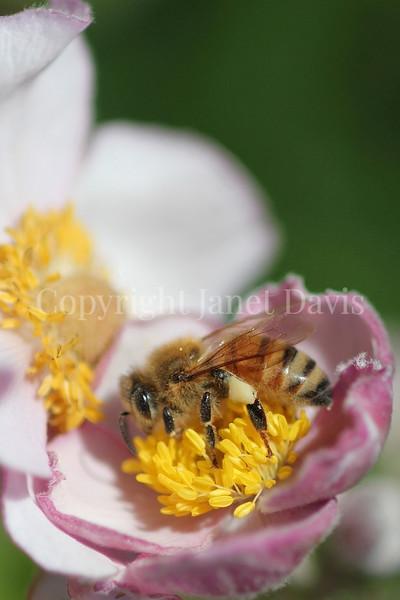 Honey Bee on Japanese Anemone 1
