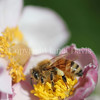 Honey Bee on Japanese Anemone 1