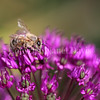 Honey Bee on Allium 'Purple Sensation' 2