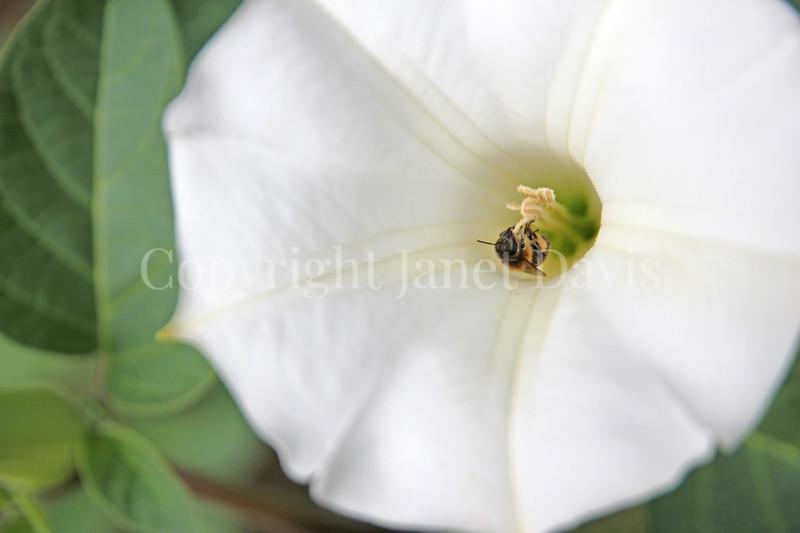 Honey Bee on Datura 1