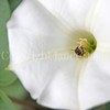 Honey Bee on Datura 1