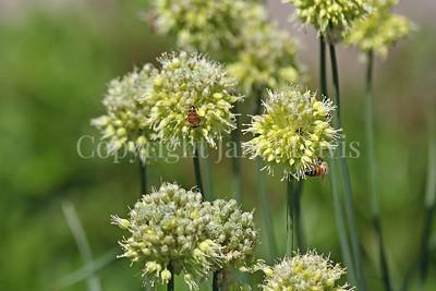 Honey Bees on Twisted-Leaf Onion