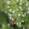 Honey Bee on Calamint 1