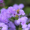 Honey Bee on Ageratum 1
