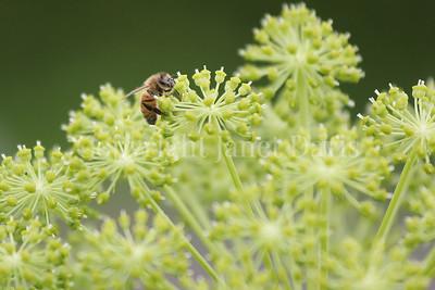Honey Bee on Garden Angelica 1