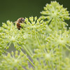 Honey Bee on Garden Angelica 1