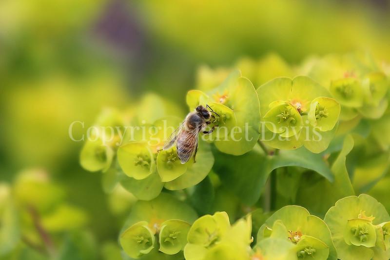 Honey Bee on Wood Spurge