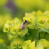 Honey Bee on Wood Spurge