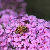 Honey Bee on Butterfly Bush 3