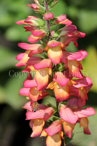 Honey Bee on Digitalis 'Illumination Flame' 1
