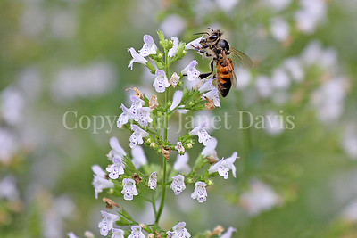Honey Bee on Calamint 2