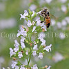 Honey Bee on Calamint 2