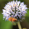 Honey Bee on Ruthenian Globe Thistle 3
