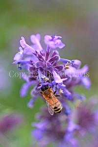 Honey Bee on Catmint 3