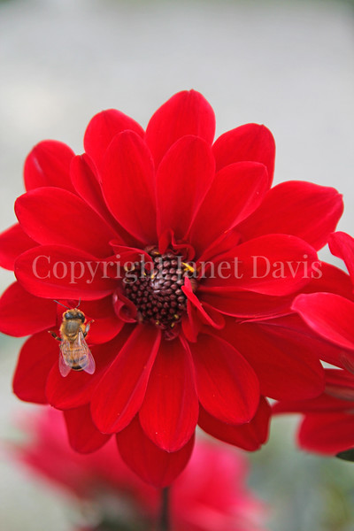 Honey Bee on Dahlia 'Bishop of Llandaff'