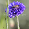 Honey Bee on Blue Cornflower 2