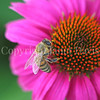 Honey Bee on Echinacea 'PowWow Wild Berry' 1