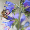 Honey Bee on Viper's Bugloss 1