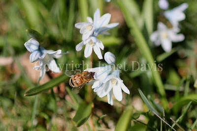 Honey Bee on Striped Squill 2