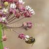 Honey Bee on Common Milkweed 3