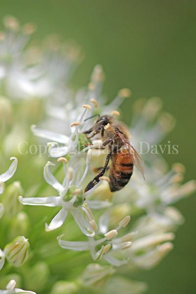 Honey Bee on Allium stipitatum 'Mount Everest' 1