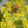 Honey Bee on Myrtle Spurge 1