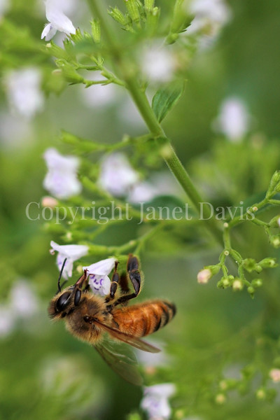 Honey Bee on Calamint 3