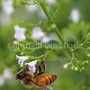 Honey Bee on Calamint 3