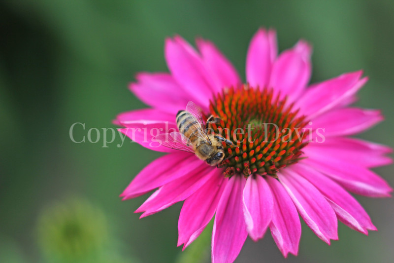 Honey Bee on Echinacea 'PowWow Wild Berry'  3