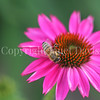 Honey Bee on Echinacea 'PowWow Wild Berry'  3