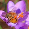 Honey Bee on Crocus tomassinianus 1