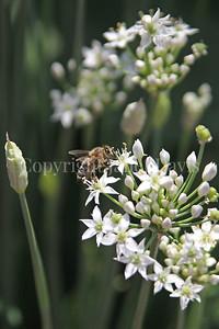 Honey Bee on Garlic Chives 1