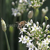 Honey Bee on Garlic Chives 1
