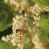 Honey Bee on Japanese Knotweed 1
