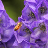Honey Bee on Autumn Monkshood 2