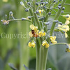 Honey Bee on Brassica Flowers