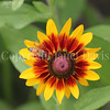 Honey Bee on Gloriosa Daisy