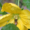 Honey Bee on Cucumber Flower 1