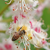 Honey Bee on Horse Chestnut 5