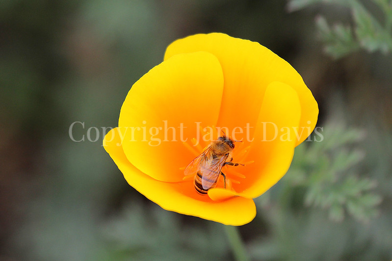 Honey Bee on California Poppy 3