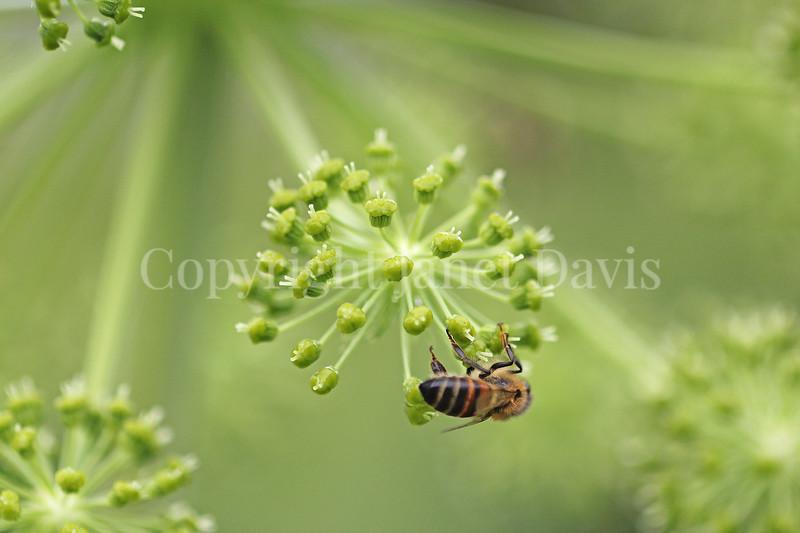 Honey Bee on Garden Angelica 4