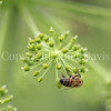 Honey Bee on Garden Angelica 4