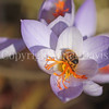 Honey Bee on Fall Crocus 3
