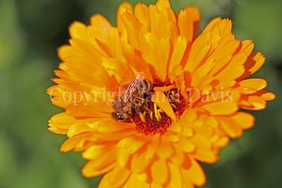 Honey Bee on Calendula 2