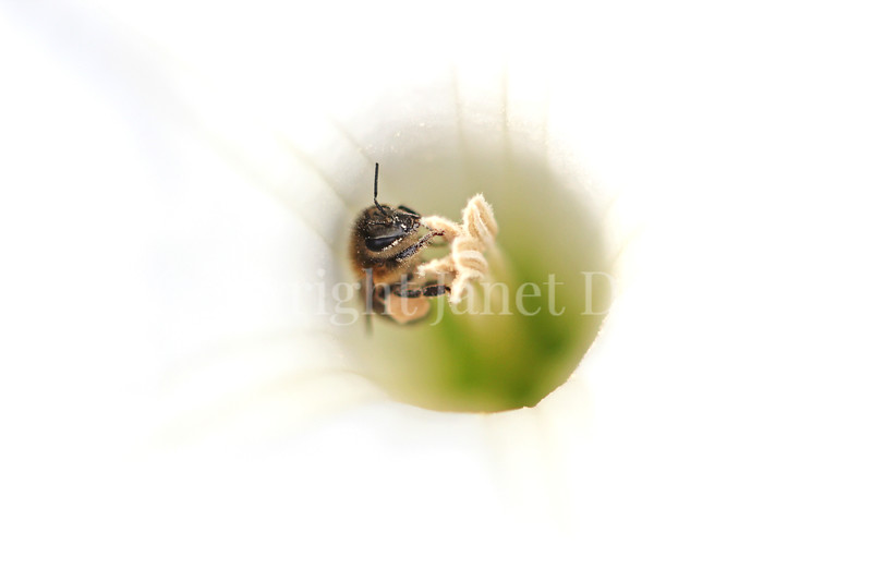 Honey Bee on Datura 2