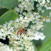 Honey Bee on Japanese Knotweed 2
